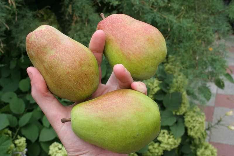 У груши Чудесница крупные плоды, вес которых достигает 150-210 г