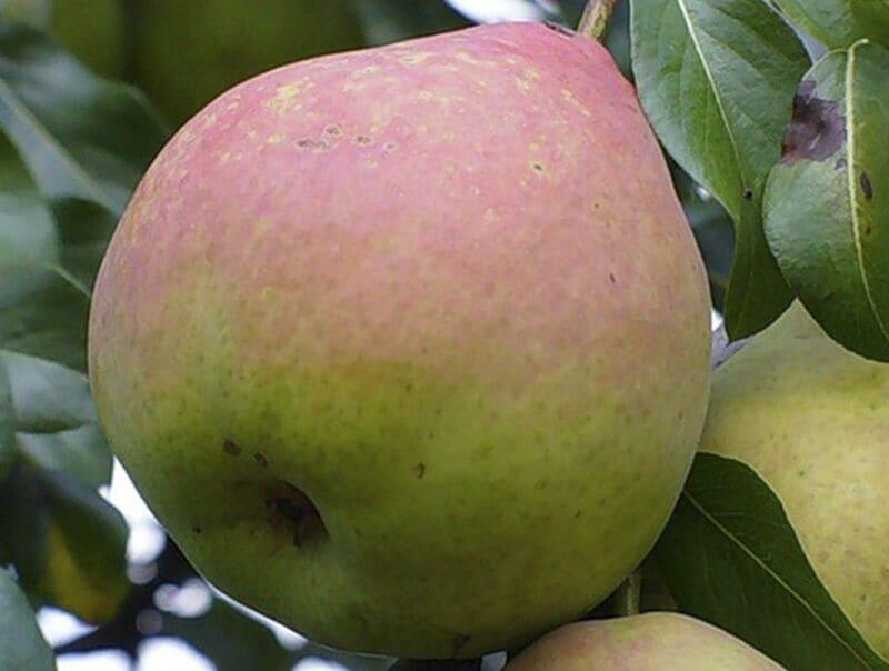 Средняя масса спелых плодов – 190-200 г