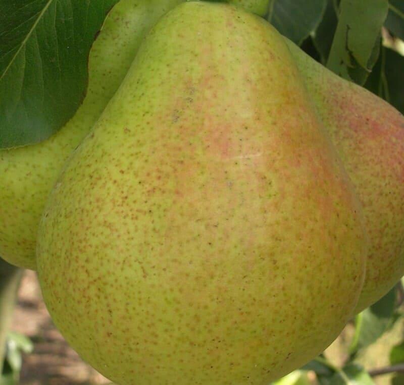 Плоды сладкие на вкус, с пряным послевкусием