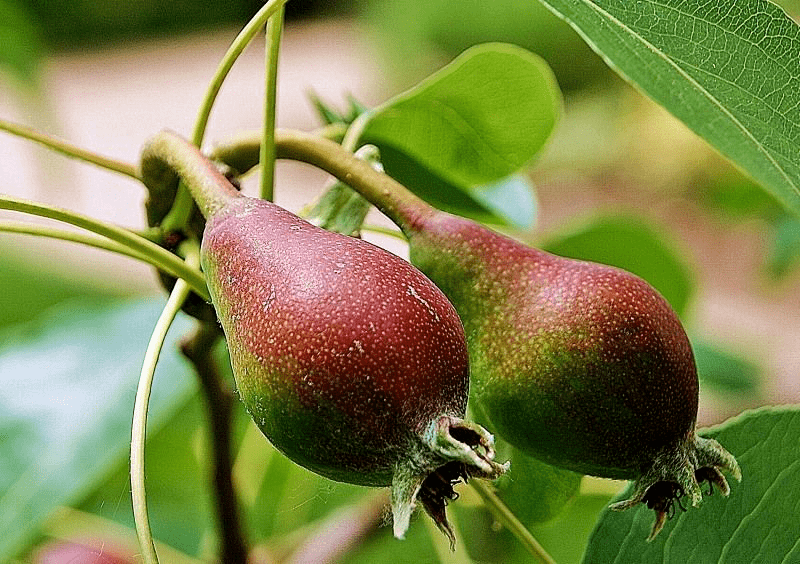 Спелые груши – мелкие, весят до 40 г, правильной грушевидной формы