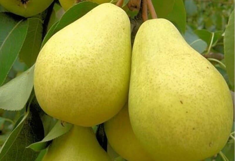 Зимостойкий вид с ранним периодом плодоношения