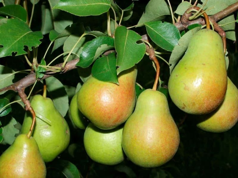 Сорт груши адаптирован к суровым зимам, а также сухим летним периодам