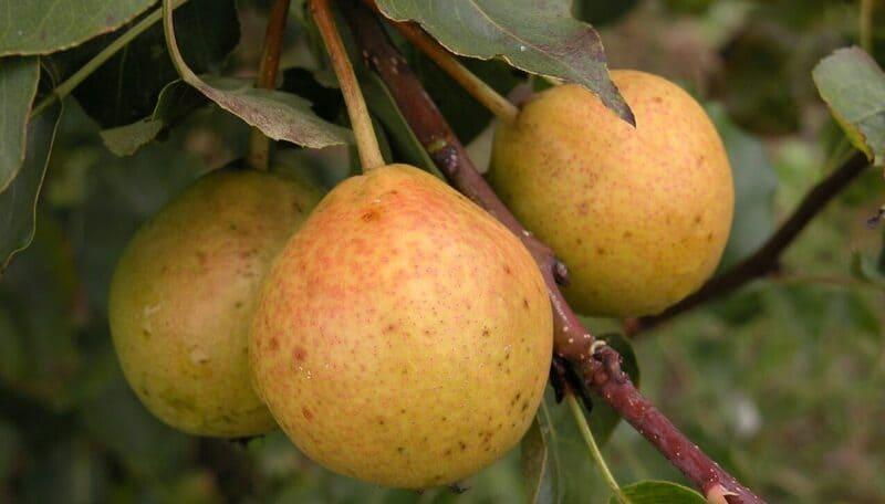 Спелые плоды отличаются терпкостью, очень кислые, практически не хранятся