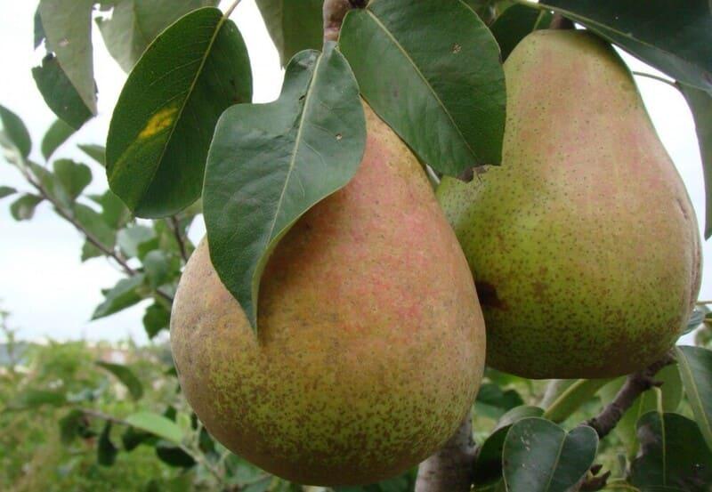 У этого сорта груши плоды – достаточно большие, могут весить до 190-270 г