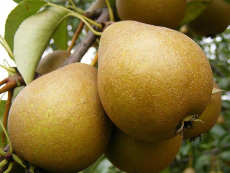 Плоды сорта Дюймовочка – небольшого размера, весом до 40 г