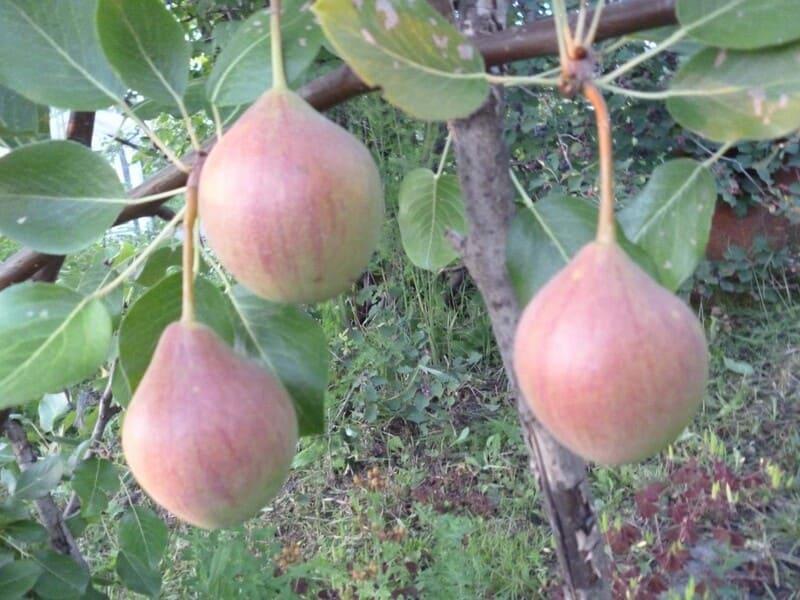 С каждого взрослого дерева можно собрать до 25-60 кг спелых плодов