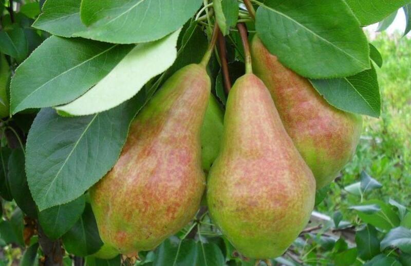Урожай подходит для употребления в свежем виде или для консервирования