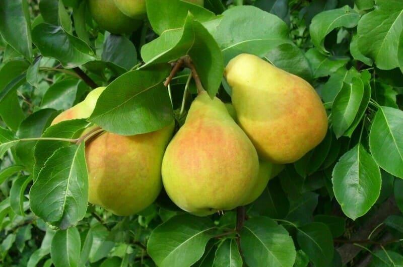 Плоды с высоким содержанием сахаров, но ощущается легкая кислинка