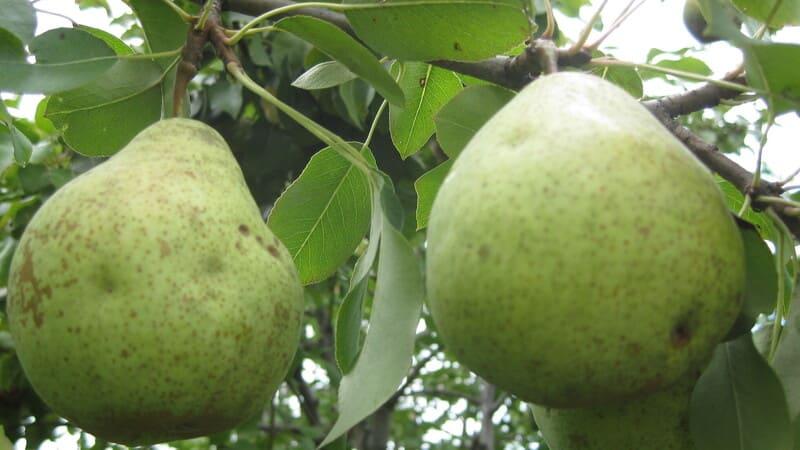 Данный сорт имеет длительный срок хранения и плодоносит уже на 2-3 год
