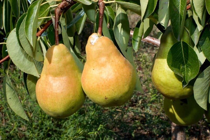 Сорт груши Дюшес летний не требователен к условиям выращивания