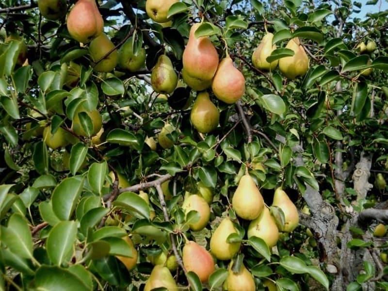 Спелые груши могут быть среднего размера (до 200 г) или крупные (до 250 г)