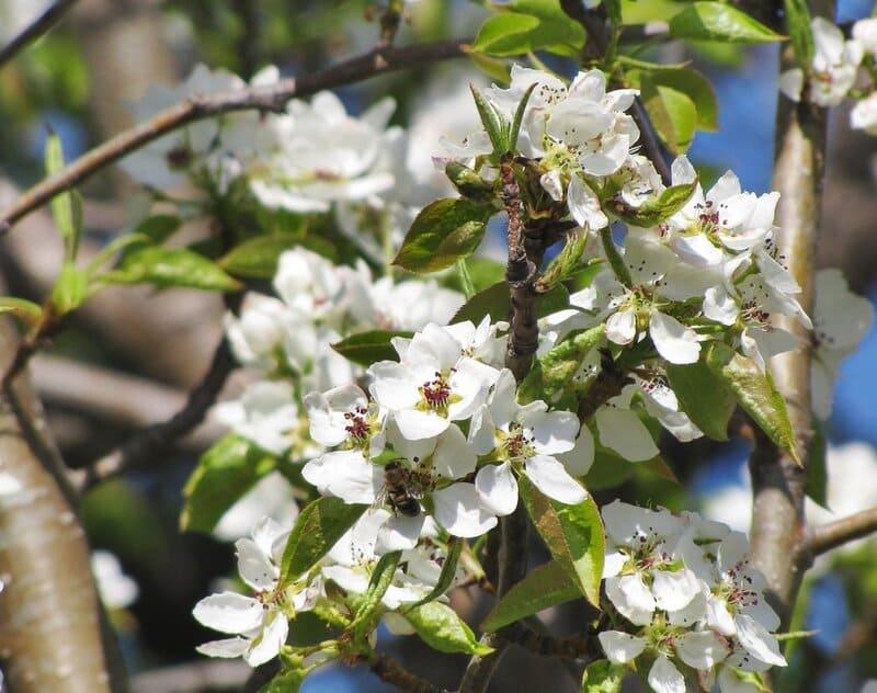 Зацветает груша приблизительно в начале мая
