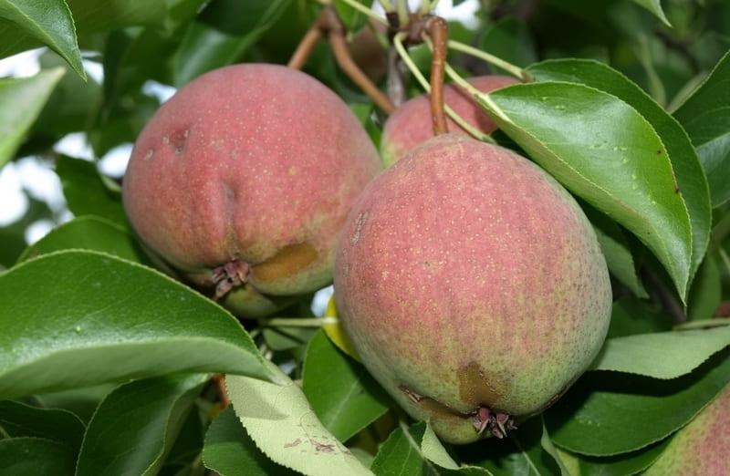 Собирать урожай с груши Розовый бочонок можно с начала сентября по ноябрь