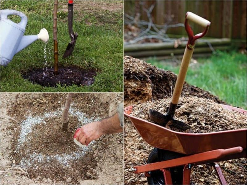 Важно обеспечить посаженным грушевым деревьям правильный уход