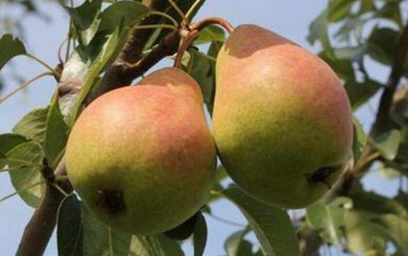 У сорта Нерусса хорошая урожайность и отменные вкусовые качества