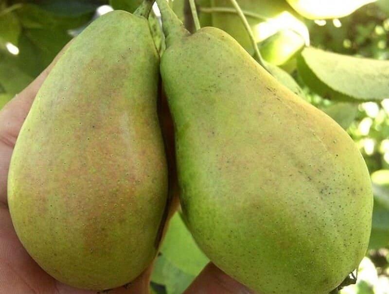 Дегустационная оценка плодов не слишком высокая, всего 3,5 балла из 5