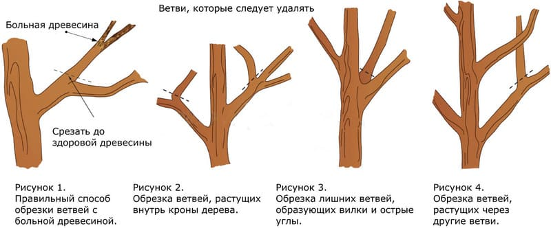 Схема омолаживающей обрезки дерева