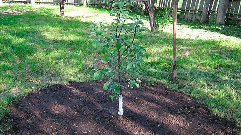 Груша хорошо растет на солнечных участках или в легкой полутени