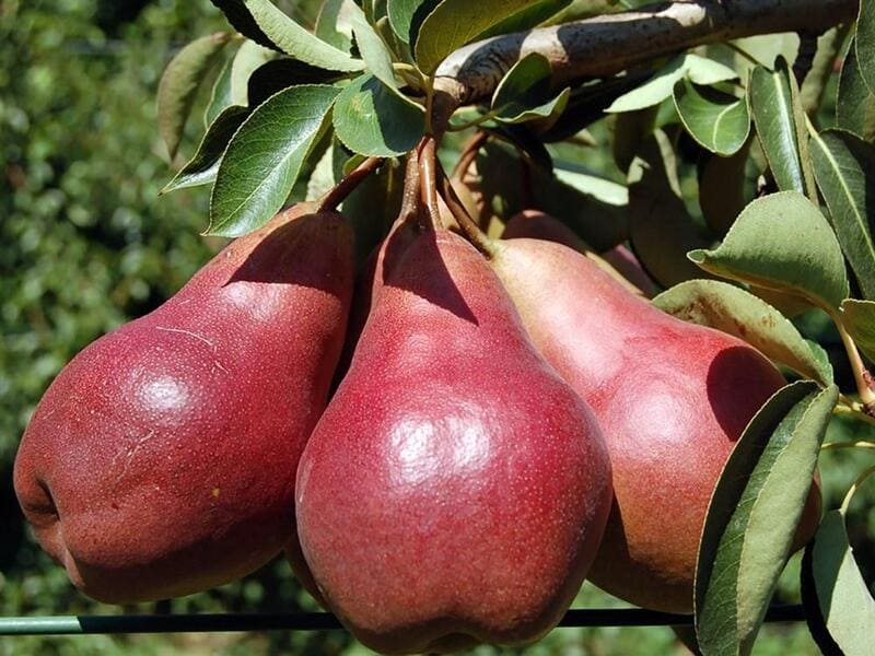 Сорт Кармен – раннеспелый, урожай собирают в конце июля