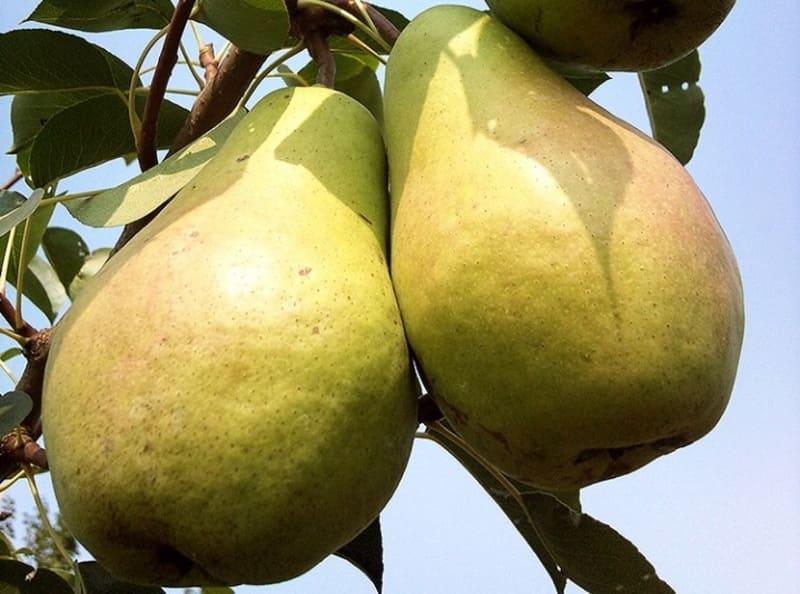 Срок хранения спелых плодов не слишком большой