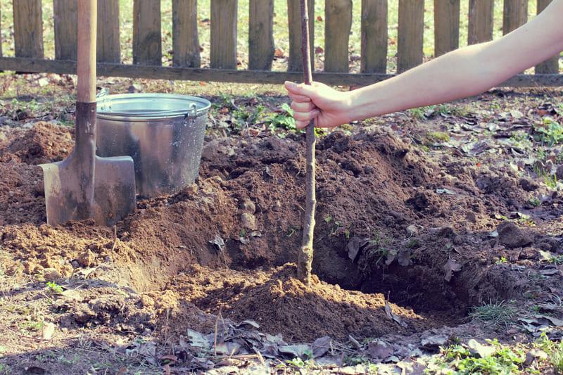 Многие садоводы считают лучшее время для посадки данного сорта - это осень