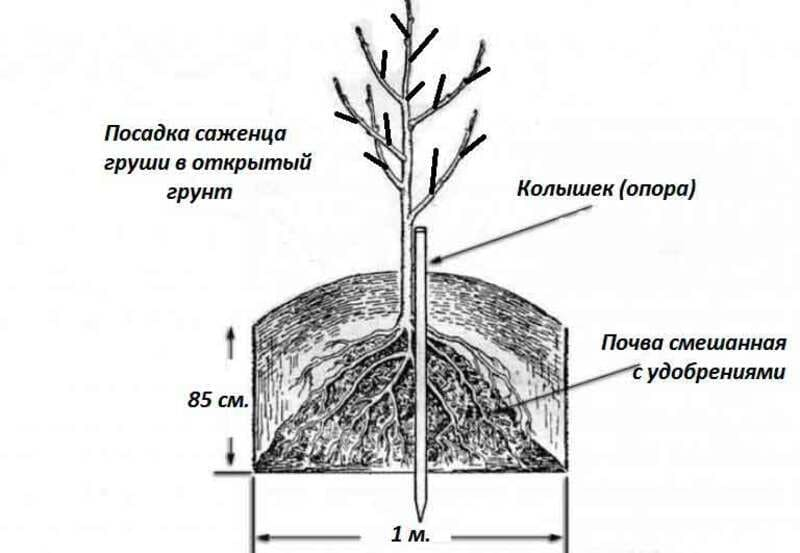 Алгоритм посадки саженца груши