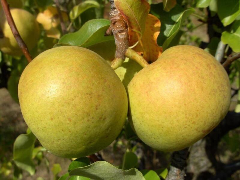 У груши Бергамот Новик хорошие вкусовые характеристики