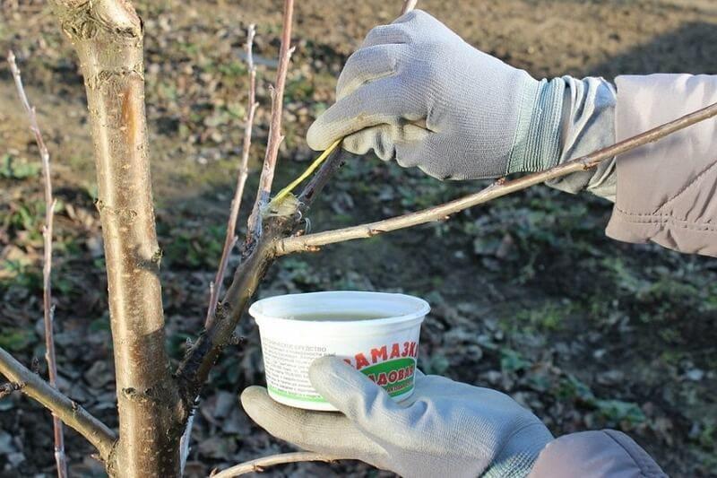 Все срезы необходимо обязательно замазывать садовым варом
