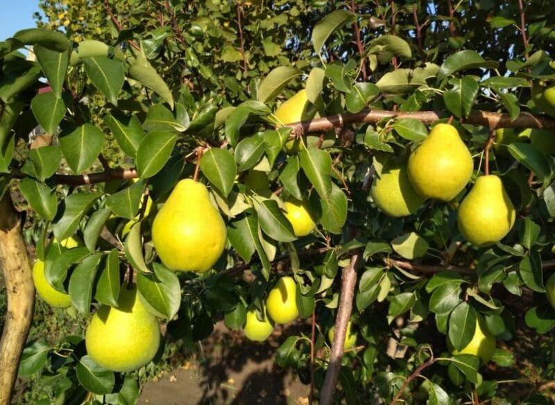 Спелые плоды – очень сладкие, с десертным вкусом
