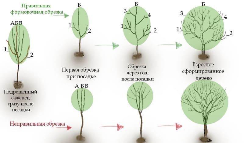 Схема формирования кроны у груши