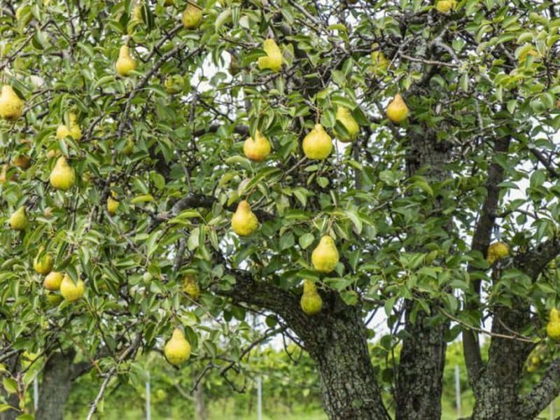 Деревья в высоту могут достигать 4-5 м, с густой округло-пирамидальной кроной