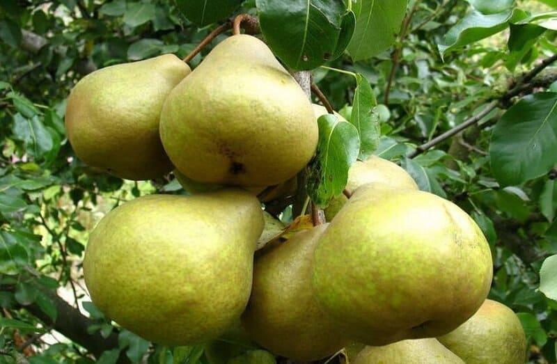 Привлекают садоводов вкусовые качества Бессемянки (мякоть сочная, сладкая)