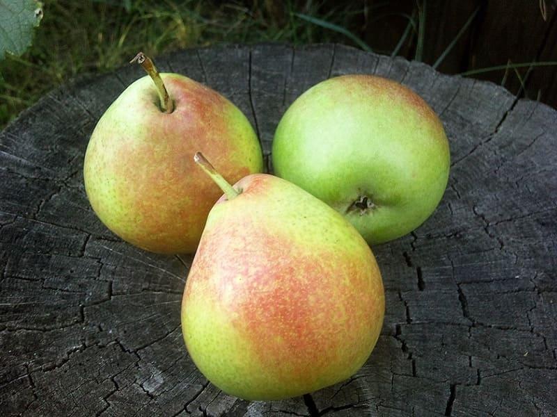 При регулярном применении плодов груши можно наладить обмен веществ