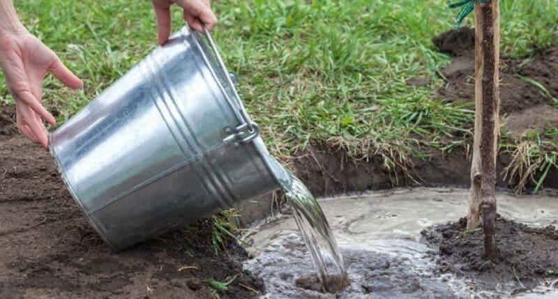 Для одного молодого растения достаточно 1 ведра воды