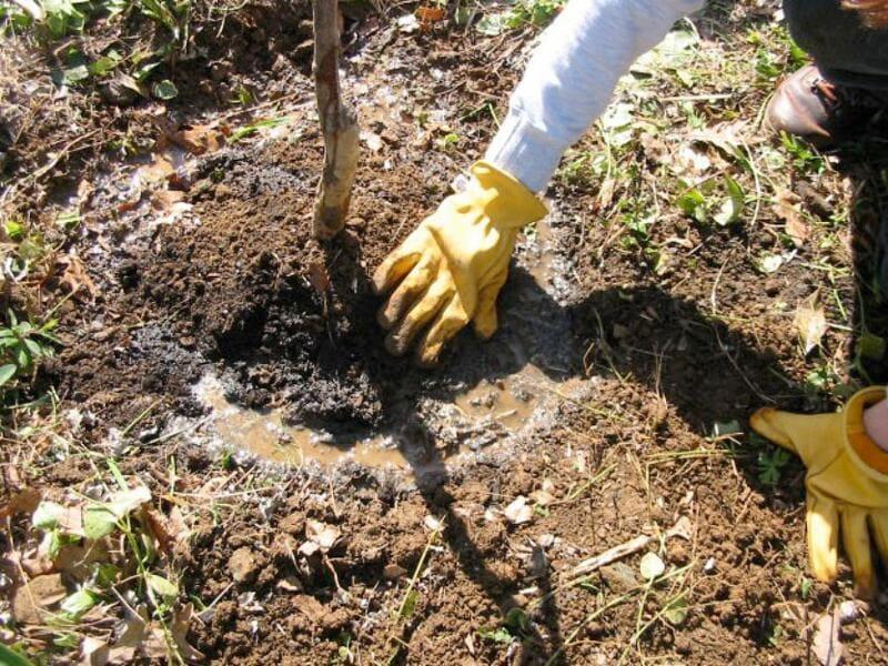 Поливают растение несколькими ведрами теплой воды, сверху досыпают грунта
