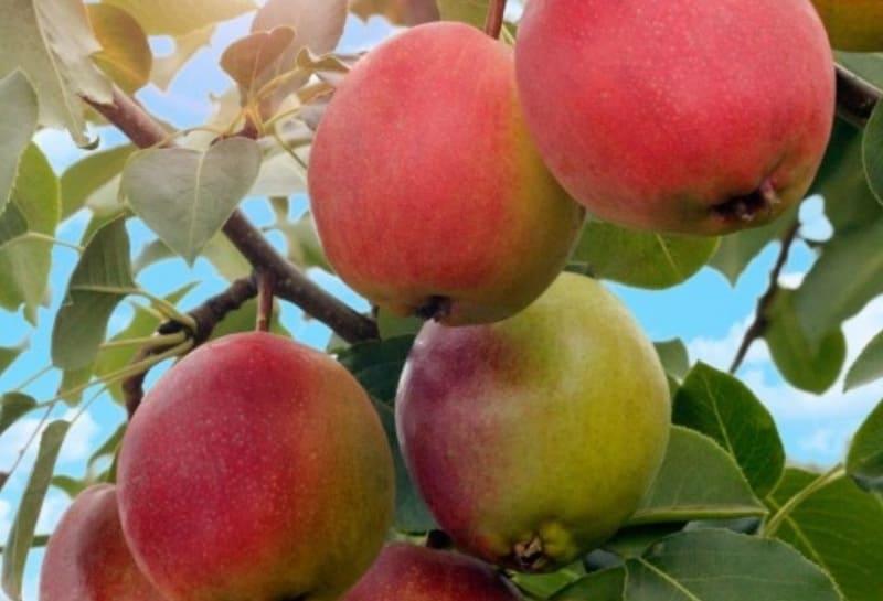 Плоды Красули собирают во второй декаде августа, могут храниться до 1,5 недель