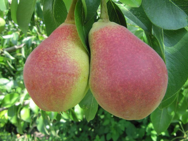 Плоды с мясистой сочной мякотью, во вкусе присутствует легкая кислинка