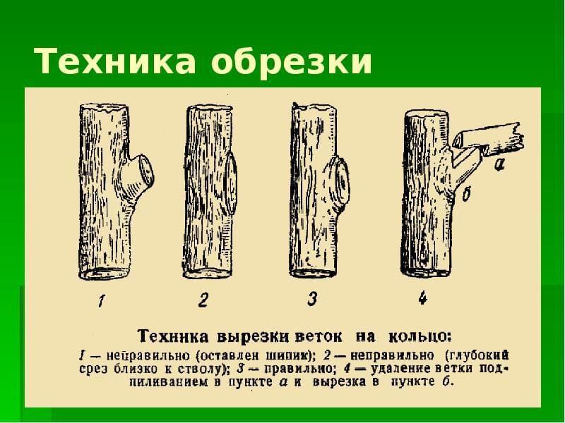 Способ актуален для деревьев, формирование кроны которых еще не завершена