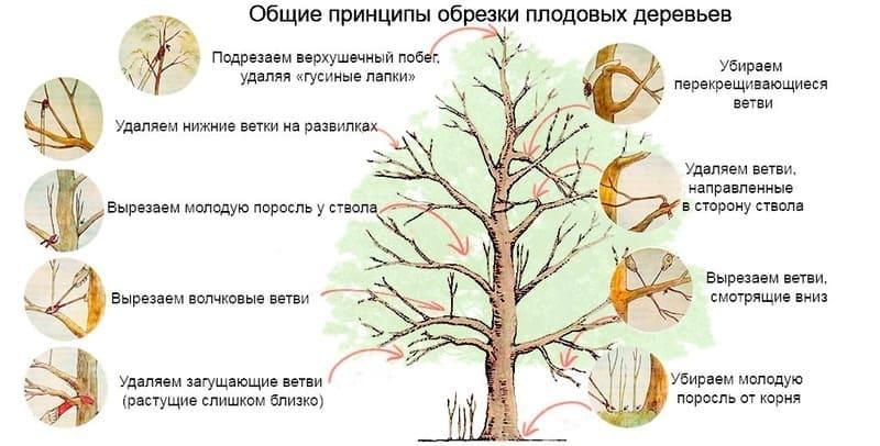 Санитарная обрезка проводится ежегодно весной и осенью
