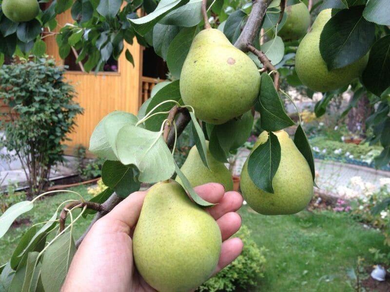 У Деканки июльской урожайность высокая и стабильная