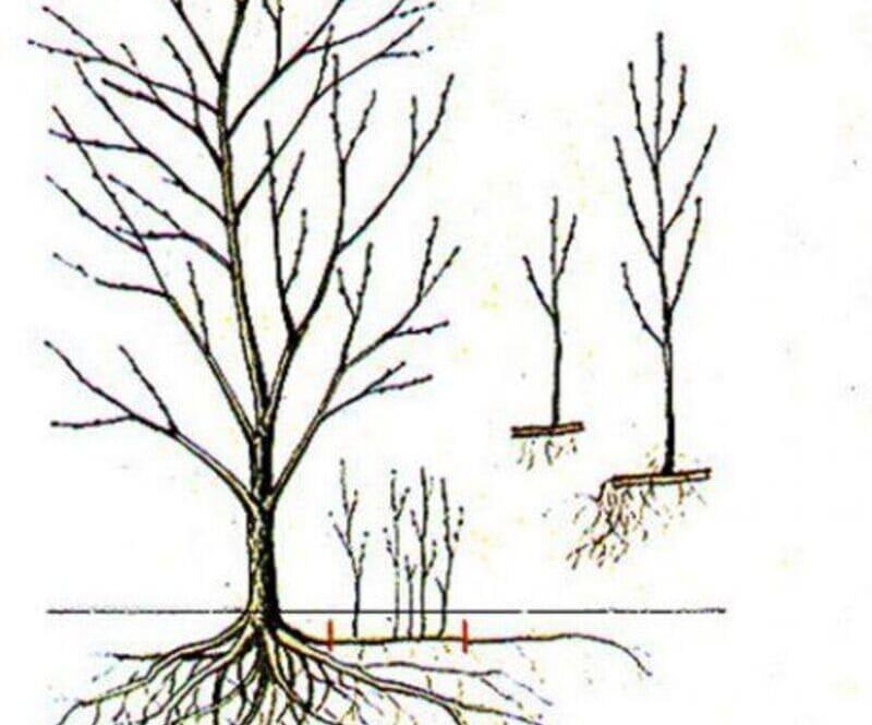 Схема размножения корневой порослью
