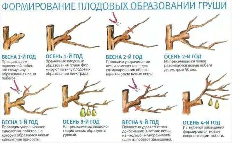 Схема обрезки груши весной и осенью