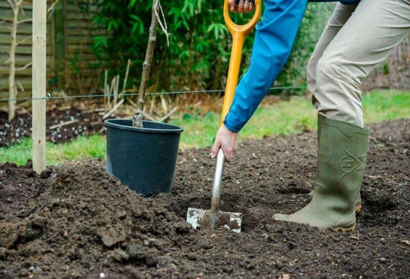Лучше высаживать эту грушу вблизи хозяйственных построек или заборов