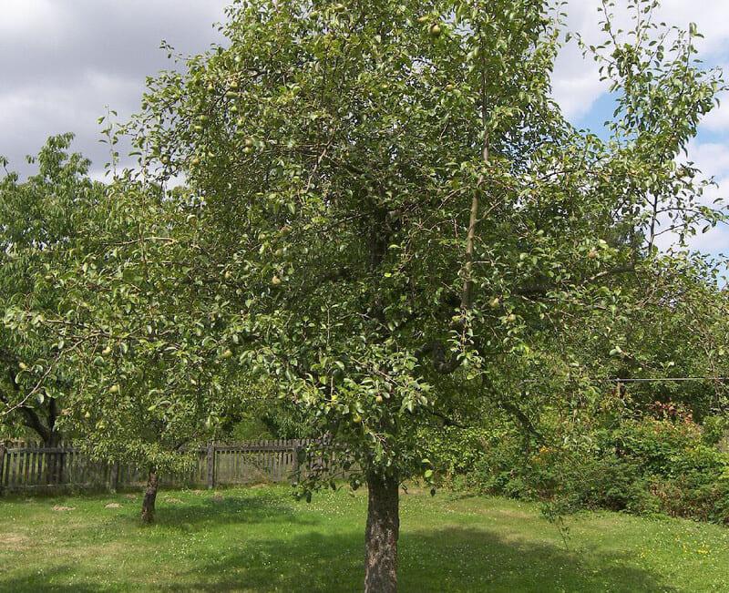 Взрослая груша Февральский сувенир в высоту достигает 18-20 м
