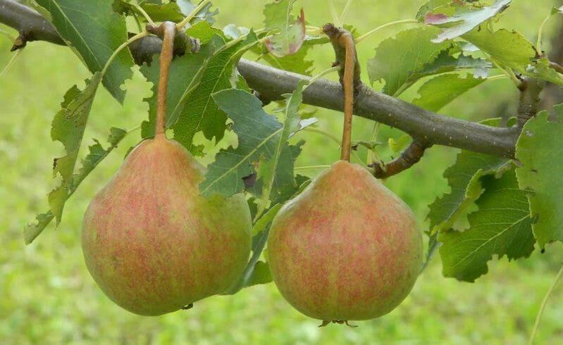 Важно не пропустить период созревания, так как плоды быстро осыпаются