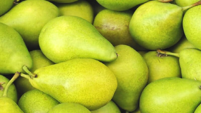 Высокая урожайность – с взрослого дерева можно собрать до 150-160 кг груш