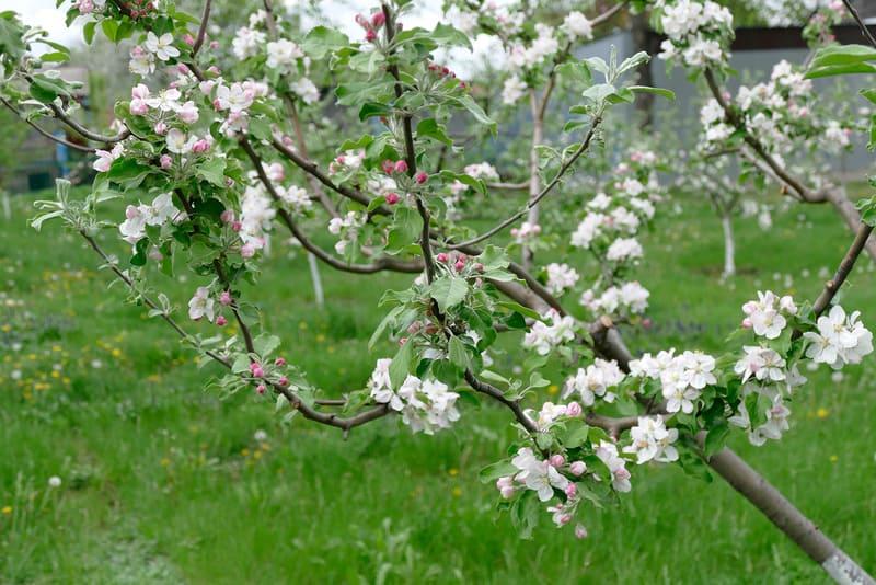 Яблоневые деревья являются прекрасными опылителями для грушевых деревьев