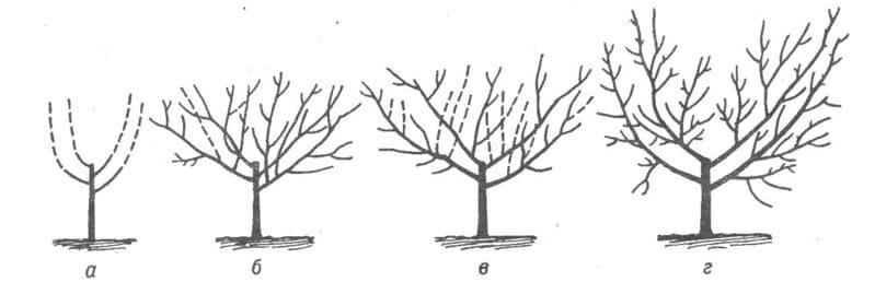 Схема формирования чашеобразной кроны у груши