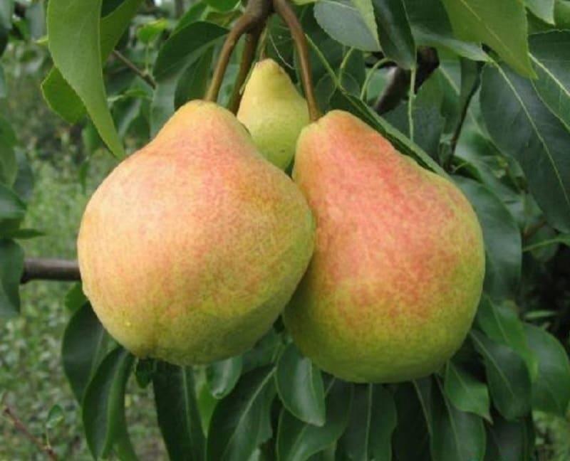 Плоды груши Павловская содержат большое количество витаминов и минералов