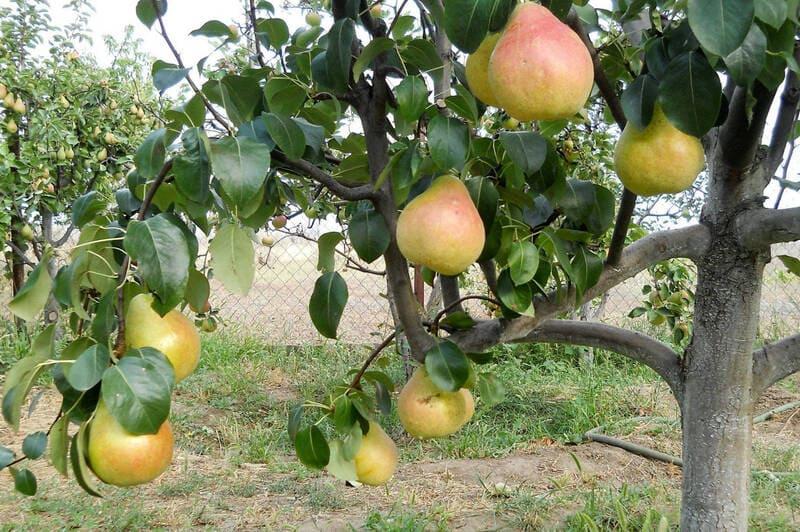 Склереиды могут встречаться в стеблях, плодах, корнях и листьях